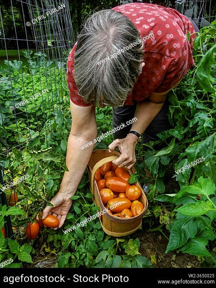 Woman age 62 picking tomato for canning