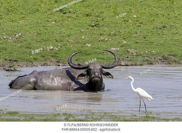 Water buffalo (Bubalus arnee) bathing in waterhole, Kaziranga National Park, Assam, India, April