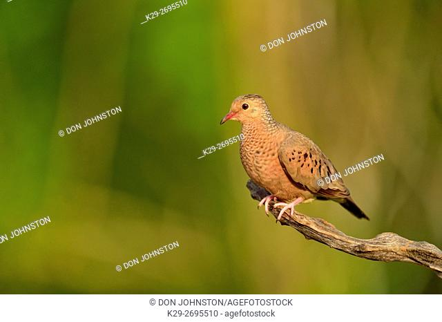 Common Ground Dove (Columbina passerina), Rio Grande City, Texas, USA
