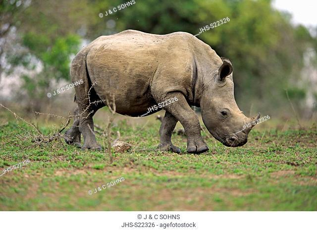 White Rhinoceros, Square-Lipped Rhinoceros, (Ceratotherium simum), young feeding, searching for food, Hluhluwe Umfolozi Nationalpark