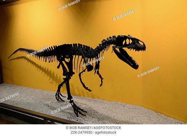 Allosaurus skeletons