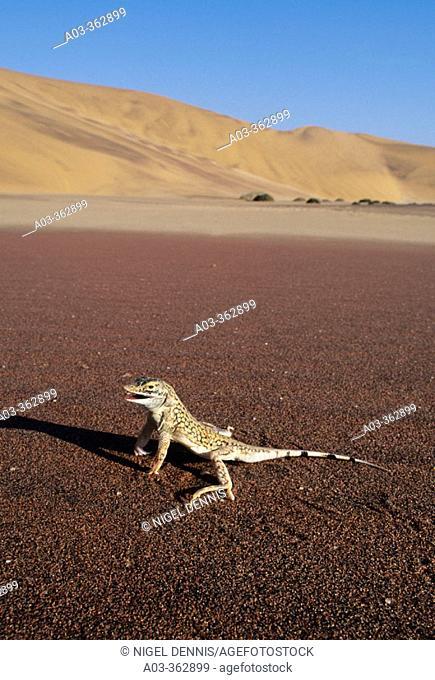 Shovel-snouted Lizard (Aporosaurus anchietae) Namib Desert, Namibia