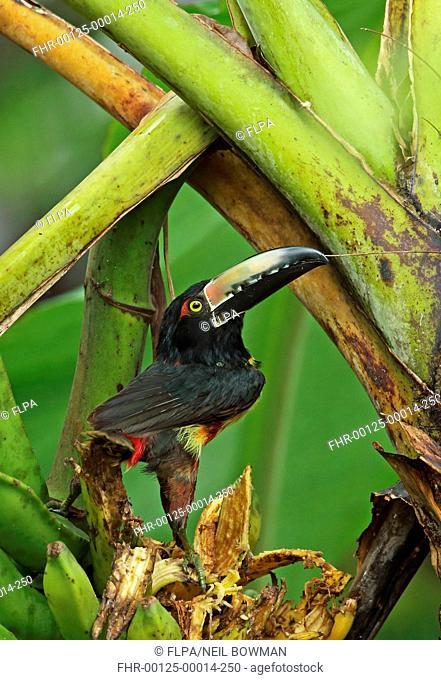 Collared Aracari (Pteroglossus torquatus torquatus) adult, feeding on ripe banana fruit, Pico Bonito, Honduras, February