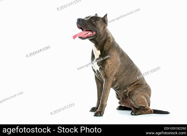 Beautiful american staffordshire terrier dog. Tiger blue color male pet. Isolated on white background