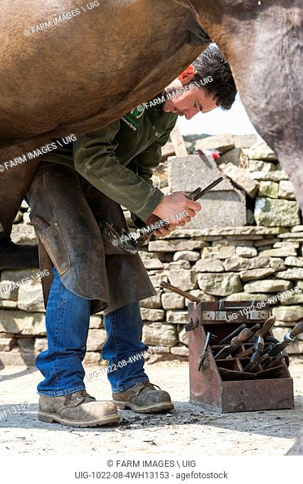 Farrier cleaning a horses hoof and cold fitting a new shoe onto the hoof