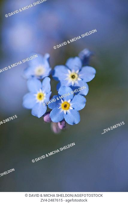 Close-up of wood forget-me-not (Myosotis sylvatica) blossoms in early summer