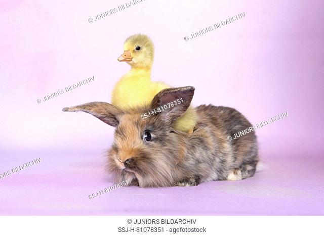 Domestic Goose. Gosling sitting on adult Dwarf Rabbit. Studio picture, seen against a purple background. Germany