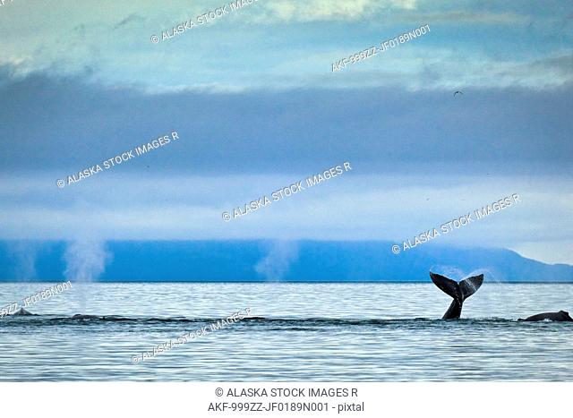 Group of Humpback whales blowing & showing fluke in Icy Strait, Glacier Bay National Park & Preserve, Inside Passage, Southeast Alaska, Summer