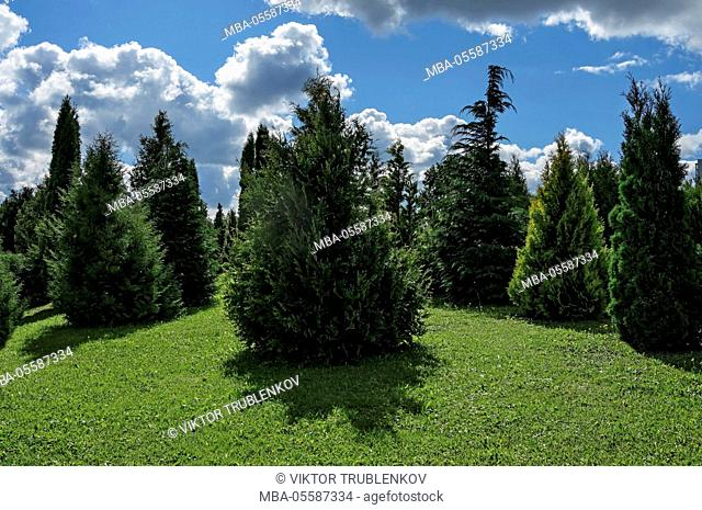 Natural Science, Summer garden, meadow with thuja