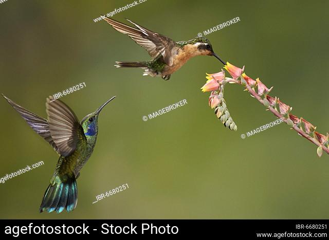 White-throated mountaingem (Lampornis castaneoventris), female, at a flower, including Mexican violetear (Colibri thalassinus) in flight, Savegre resort