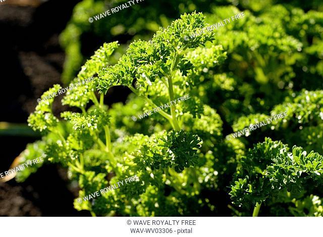 Close-up organic parsley, Manitoba, Canada