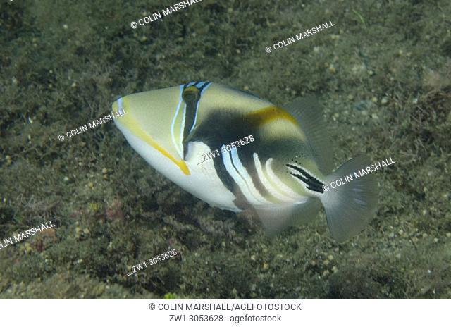 Picasso Triggerfish (Rhinecanthus aculeatus), Tasi Tolu dive site, Dili, East Timor (Timor Leste)
