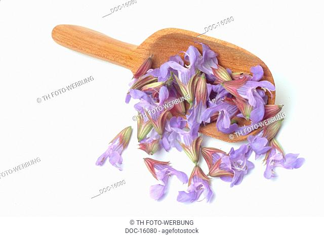 Sage - medicinal plant - herb - spice - Salvia officinalis - Salvia domestica -