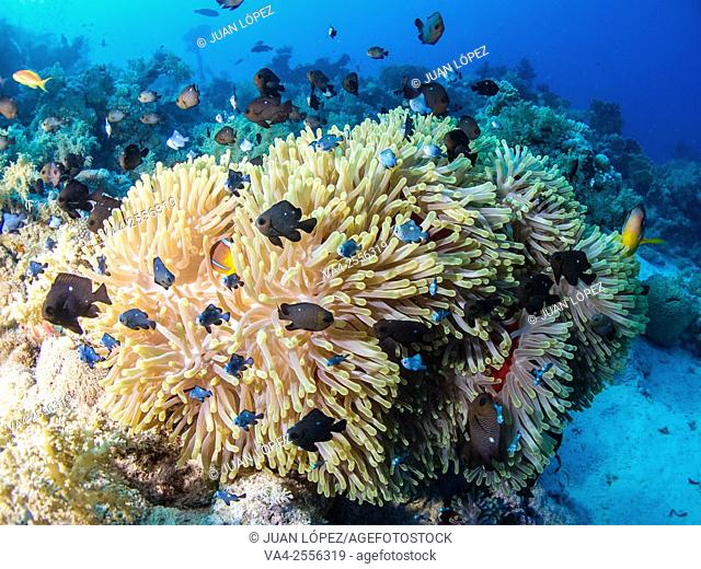 Magnificent anemone Stichodactyla gigantea. Red Sea, Sharm el-Sheikh, Egypt