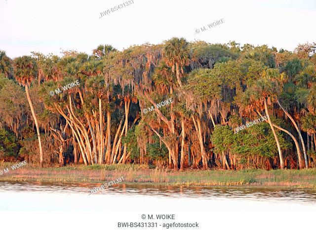 cabbage palmetto (Sabal palmetto), palm forest at the lakeside, USA, Florida, Myakka National Park
