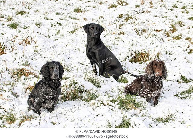 Two working cocker Spaniels with a Labrador Retriever, sitting in snow