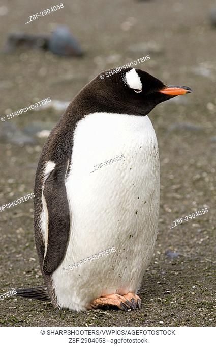Antarctica, South Shetland Islands, Aitcho Island, Gentoo Penguin