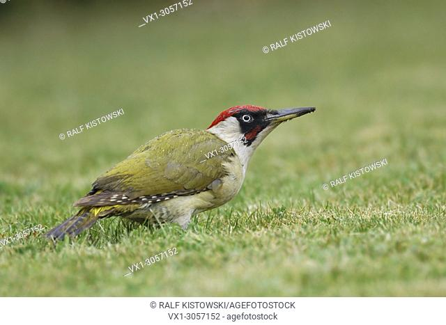 European Green Woodpecker ( Picus viridis )sitting in grass on the ground, feeding on ants on a rainy day, wildlife, Europe