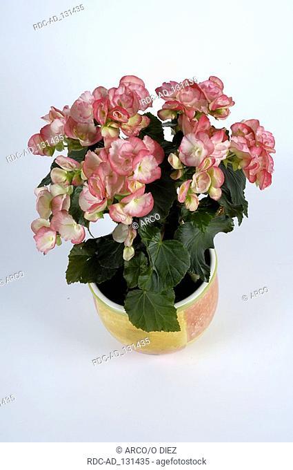 Begonia Begonia hybride Begoniaceae