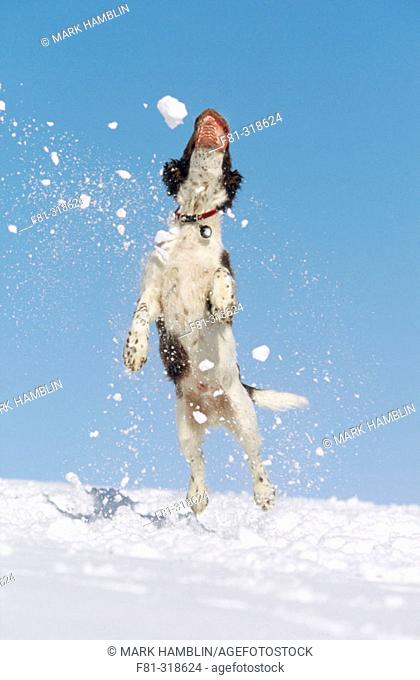 Springer Spaniel puppy (4 months old) jumping in air to catch snow. Scotland