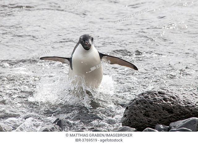 Adélie Penguin (Pygoscelis adeliae) leaving the water, Paulet Island, Antarctic Peninsula, Antarctica
