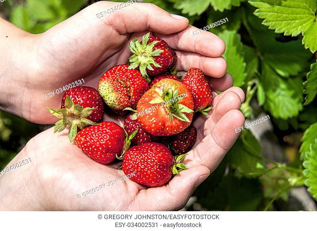 Holding a bunch of freshly picked strawberries in hand