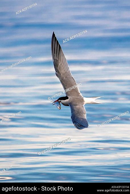 Common tern (Sterna hirundo) catching fish, Lake Ontario