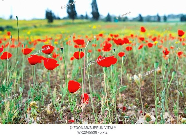 Wild red poppy and white daisy flowers