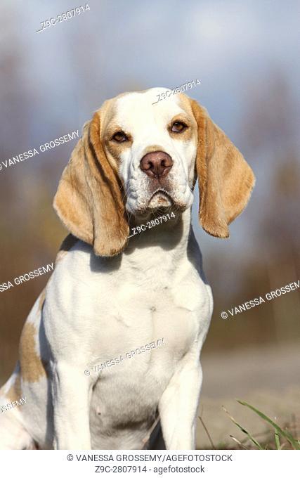 Portrait Beagle dog