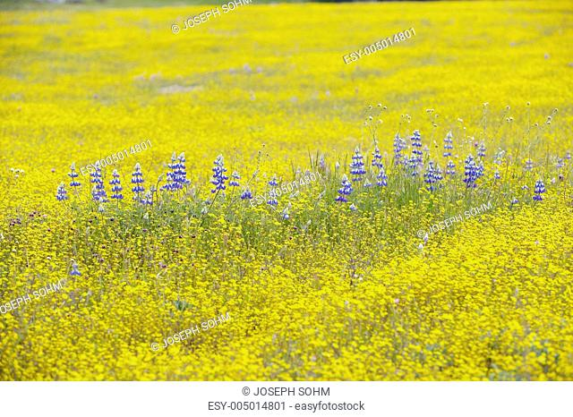 Purple lupine and desert gold yellow flowers in brightly colored spring field off Highway 58 East of Santa Margarita, CA