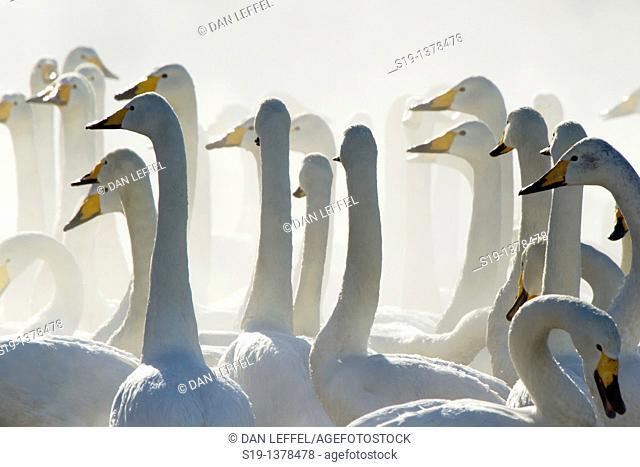 Whooper Swans, Winter, Hokkaido, Japan