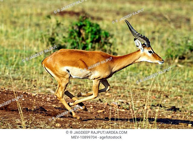 Impala Buck - on the move (Aepyceros melampus). Masaimara Wildlife Reserve - Kenya - Africa