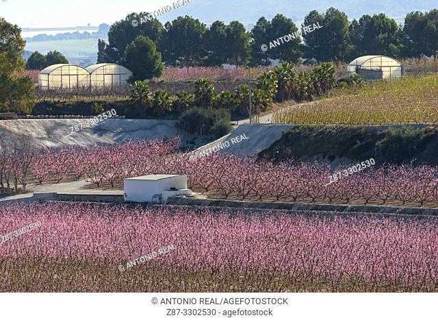 Flowering. Peach trees in bloom. Cieza. Murcia. Spain