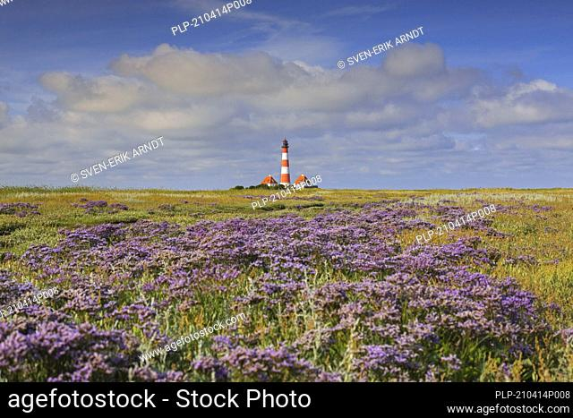 Sea-lavender in flower and lighthouse Westerheversand at Westerhever, Peninsula of Eiderstedt, Wadden Sea National Park, North Frisia, Germany