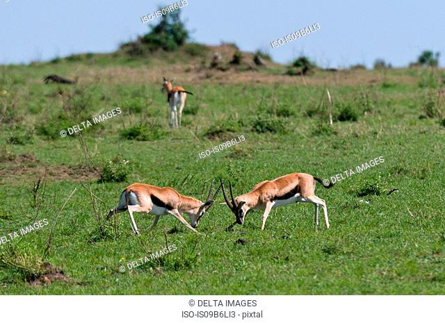 Thompson Gazelle sparring (Gazella thompsoni), Masai Mara National Reserve, Kenya
