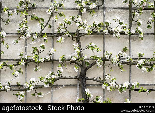 Trellis tree on house wall, apple blossom, Hesse, Germany, Europe
