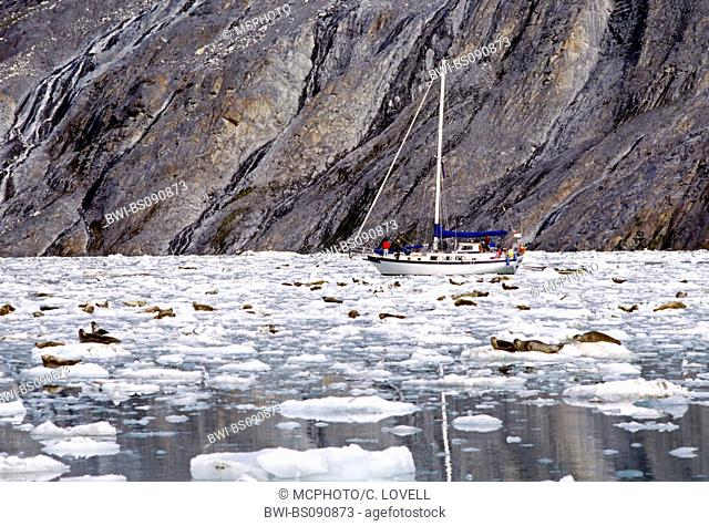 harbor seal, common seal (Phoca vitulina), sailing boat and seals on ice floes in the John Hopkins Inlet, USA, Alaska, Glacier Bay National Park