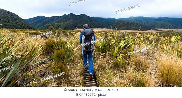 Hiker on hiking trail through swamp landscape, Pouakai Circuit, Egmont National Park, Taranaki, North Island, New Zealand