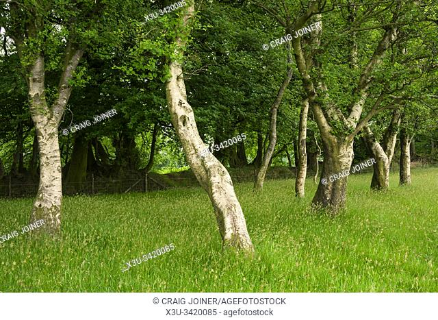Downy Birch trees (Betula pubescens) on Great Hill beside Drove Road in the Quantock Hills, Somerset, England