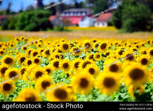 31 July 2020, Brandenburg, Michendorf: Sunflowers (Helianthus annuus) grow in a field near the last houses of the community in the Potsdam-Mittelmark district