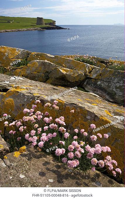 Thrift Armeria maritima flowering, amongst rocks in coastal habitat, Iron Age Broch in distance, Mousa, Shetland Islands, Scotland