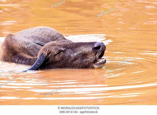 Sri Lanka, Northwest Coast of Sri Lanka, Wilpattu National Park, Wild water buffalo or Asian buffalo (Bubalus arnee), resting in the water