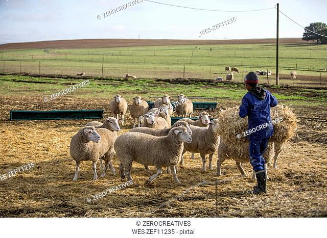 Man on farm feeding sheep with hay