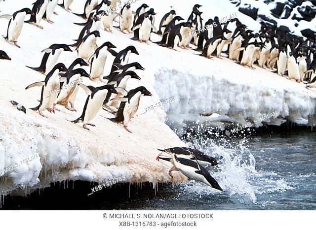 Adélie penguin Pygoscelis adeliae leaping off ice to return to sea to feed on Paulet Island near the Antarctic Peninsula