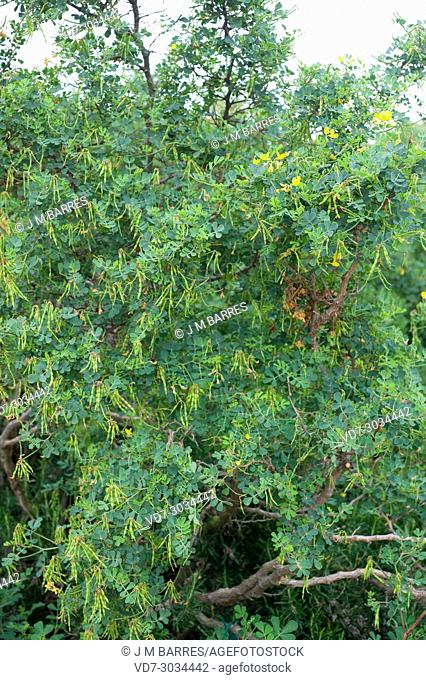 Scorpion vetch (Coronilla valentina) is a shrub native to Western Mediterranean Basin from Portugal to Croatia and from Morocco to Tunisia