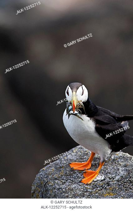 Horned puffin (Fratercula corniculata) standing on boulder with fish in its beak, Walrus Islands State Game Sanctuary, Round Island, Bristol Bay