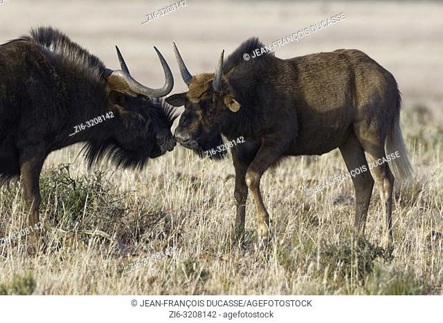 Black wildebeests (Connochaetes gnou), adult male with calf, in open grassland, face to face, Mountain Zebra National Park, Eastern Cape, South Africa, Africa