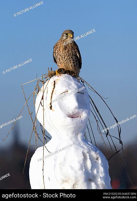 31 January 2021, Berlin: A kestrel (Falco tinnunculus) sits with its prey, a mouse, on the head of a snowman on Tempelhofer Feld