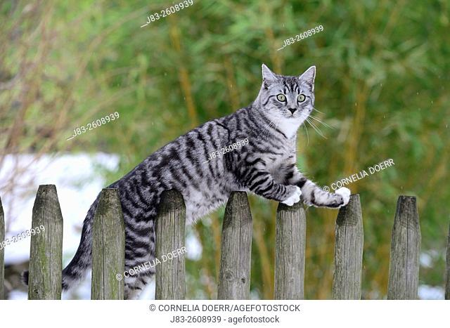 Light gray-tabby cat sitting on garden fence in Winter