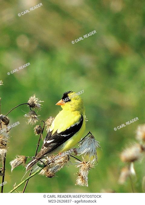An American Goldfinch, Spinus tristis, takes a break from feeding on a late summer day, Pennsylvania, USA